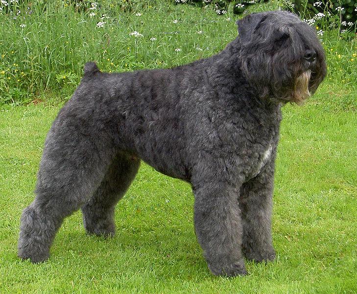 Bouvier Des Flandres Dog Breed Save A