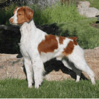 Brittany Spaniel Save A Rescue
