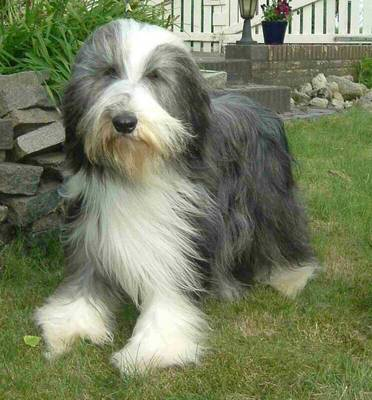 Bearded Collie Save A Rescue
