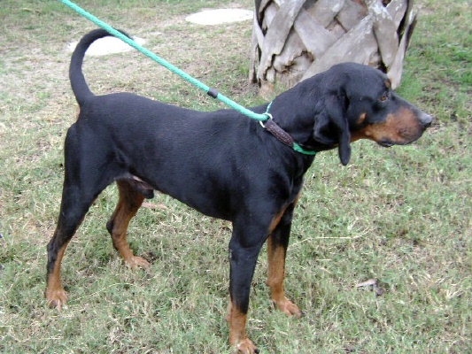 Black and Tan Coonhound - save a rescue