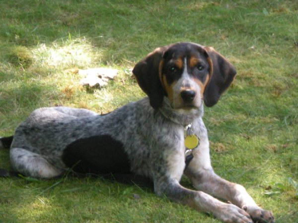 Bluetick Coonhound Save A Rescue