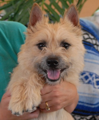 Cairn Terrier   save a rescue