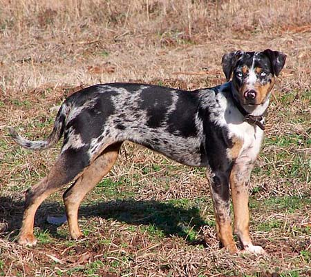 Catahoula Leopard Dog Puppies For Sale