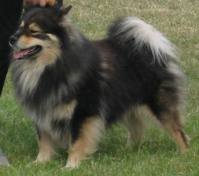 Finnish Lapphund Save A Rescue