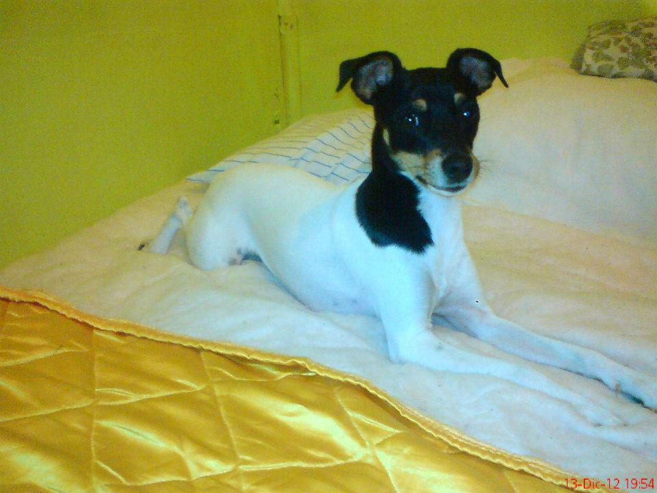 Smooth Fox Terrier | save a rescue