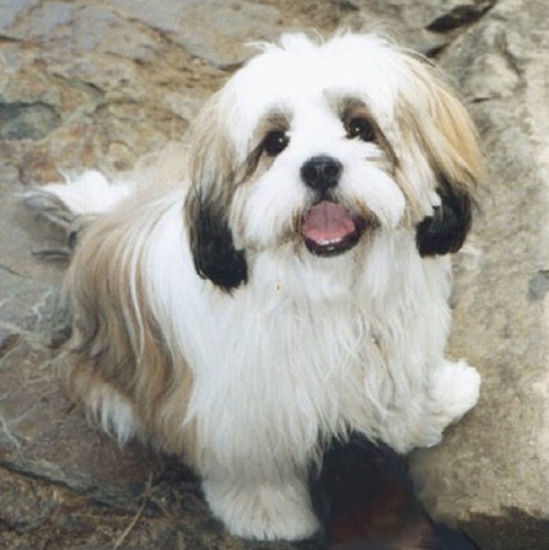 lhasa apso save a rescue