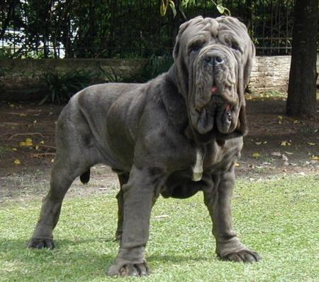 Neapolitan Mastiff Dog Breed Info