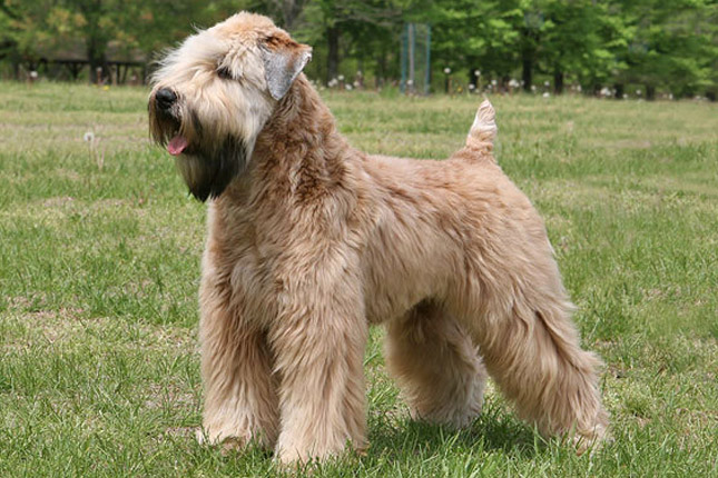 Soft Coated Wheaten Terrier Save A Rescue
