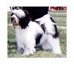 Tibetan Terrier4