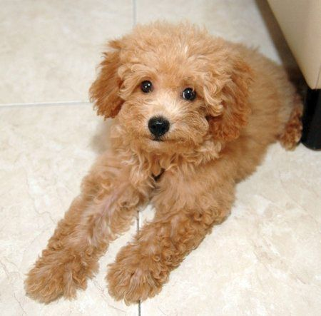 Poodle Toy Save A Rescue