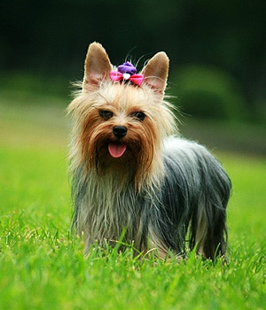 Yorkshire Terrier | sa...