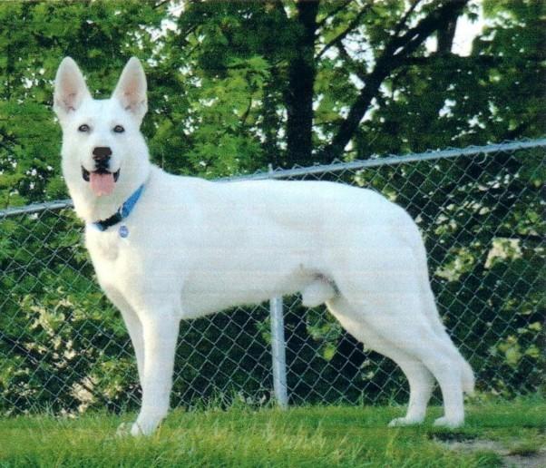 German Shepherd White Save A Rescue