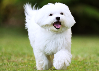 Top 10 Great Breeds for Apartment Living