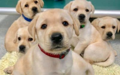 Puppies are Born with 'Human-Like' Social Skills ~ Wired to Communicate with People