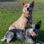AUSTRALIAN-CATTLE-DOG-150x150