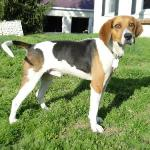 American-Foxhound-2