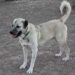 Anatolian-Shepherd-Dog-150x150