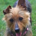 Australian-Terrier1-150x150