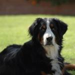 BERNESE-MTN-DOG-150x150
