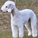 Bedlington-Terrier-2