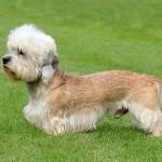 Dandie-Dinmont-Terrier1