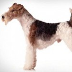 Fox-Terrier-Wirehaired-1-150x150