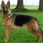 German-Shepherd-150x150