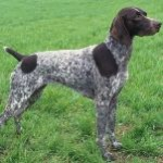 German-Shorthaired-Pointer-1-150x150