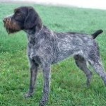 German-Whirehaired-Pointer-1-150x150