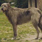 IrishWolfhound1-150x150