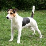 PARSON-RUSSELL-TERRIER-150x150