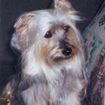 Silky-Terrier2-150x150