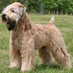 Soft-Coated-Wheaten-Terrier9
