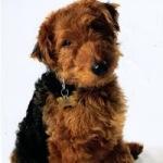 Welsh-Terrier10-150x150