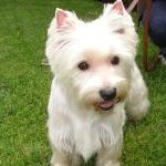 West-Highland-Terrier-Cutie