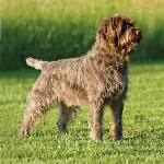 Wire-Haired-Pointing-Griffon1